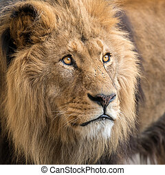 A portrait of a male lion in captivity