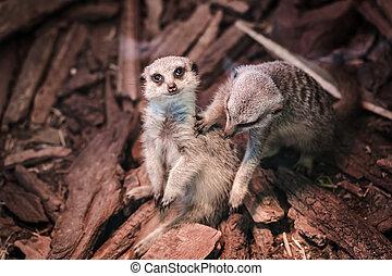 a portrait of a meerkat