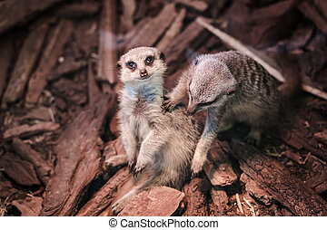 a portrait of a meerkat - a pair of small meerkats with a...