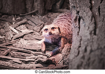a portrait of a meerkat - portrait of a lonley meerkat in...