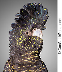 red tailed black cockatoo - a portrait of a red tailed black...