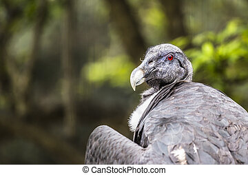 A portrait of a vulture in nature.