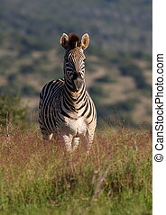 A portrait of a zebra - A zebra stands alone in a grass...