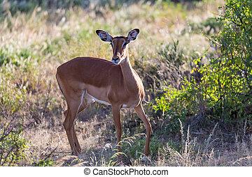 A portrait of an Impala antelope in the savannah of Kenya