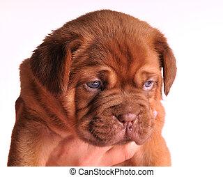 A portrait of Dogue De Bordeaux puppy