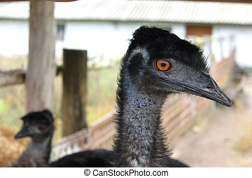 A portrait photo of an ostrich
