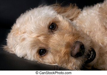 a portrait shot of a spoodle, a cross between a spaniel and poodle