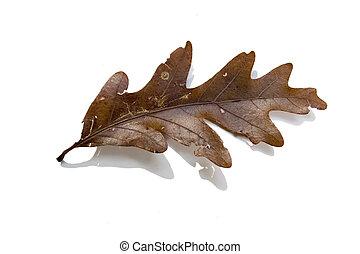 Post Oak leaf - A Post Oak leaf in autumn