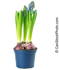A pot of hyacinth flowers with bulb