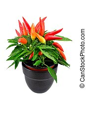 A potted chili plant