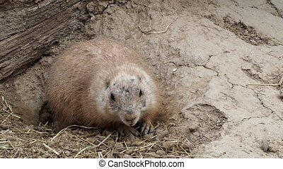 A prairie dog (cynomys ludovicianus) is looking for food