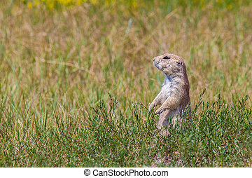 A prairie dog in a green field