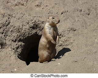 a prairie dog outside his burrow
