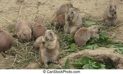 A prairie dogs (Cynomys ludovicianus) is eating dry grass
