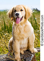 Golden Retriever Puppy - a pretty Golden Retriever Puppy