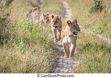 A pride of Lions walking on the road.
