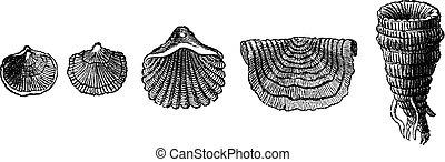 a, primeiro, animals., fóssil, conchas, de, brachiopods, de,...