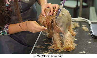 A professional groomer plucks hair from the ears of a small Yorkshire terrier.