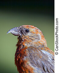 Red Crossbill - A profile photograph of a Red Crossbill...