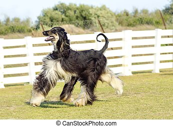 Afghan Hound - A profile view of a healthy beautiful...