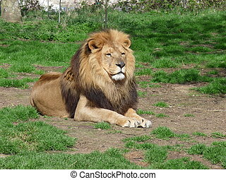 a proud lion sitting in the grass
