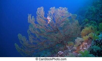 A Pufferfish on a sea fan