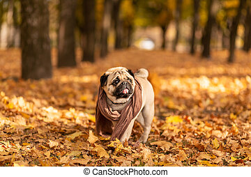 A pug dog wrapped in a scarf walks in the autumn park along the yellow leaves against the background of trees and autumn forest
