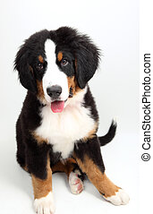 a puppy Bernese mountain dog