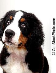 a puppy Bernese mountain dog