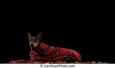 A purebred Doberman pinscher lies in a red checkered blanket in the studio on a black background on fallen leaves. Red autumn leaves fall on top of the dog in slow motion. Autumn leaf fall. Close up
