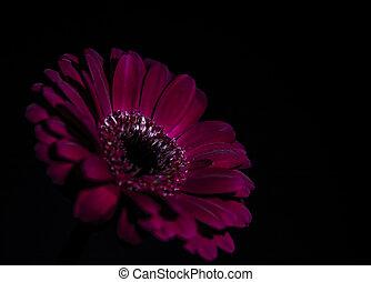 A purple flower, subtlety lit, against a black background
