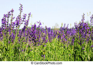 purple flowers on the meadow and sky