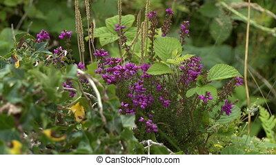 Steady, medium close up shot of a purple lilac shrub.