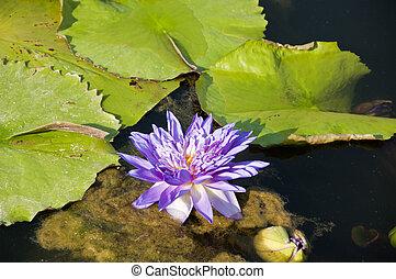 A Purple Lotus