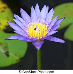 A Purple Lotus in pool