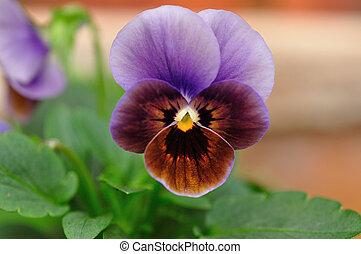 A purple pancy in a garden