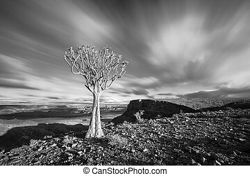 A Quiver tree on the top of the Fish River Canyon