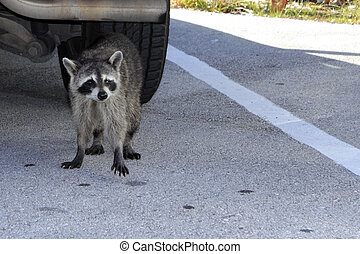 A Raccoon in Florida
