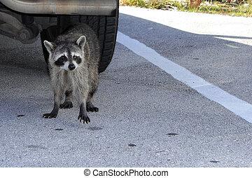 A Raccoon in Florida