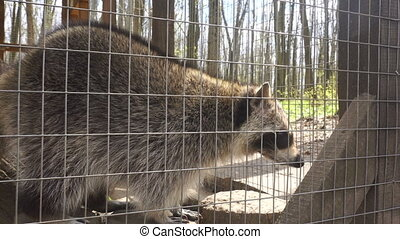 a raccoon walks into the cage of a Zoo at daytime