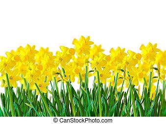 a, rad, av, gul, påskliljor