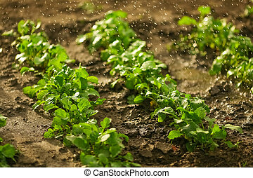 A radish is watered in a garden in a spring garden
