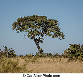 A Rain Tree sits alone in the desert