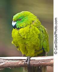 A rare antipodes island parakeet (Cyanoramphus unicolor) in a breeding program