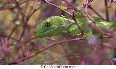 Northland green gecko - A rare Northland green...