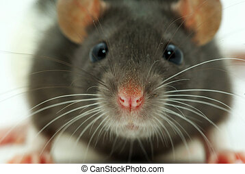 a rat looks at you - rat isolated on a white background