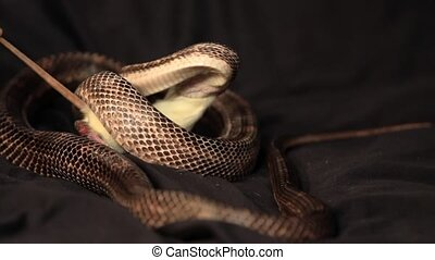 a rat snake grabs the rat with its teeth, and wraps coils of its body around the prey and squeezes, studio shot with black background