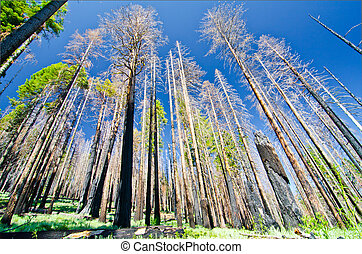 A recently burned forest at Yosemite National Park