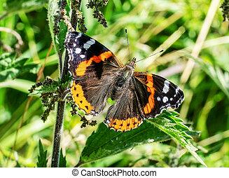 A Red Admiral butterfly. Vanessa atalanta