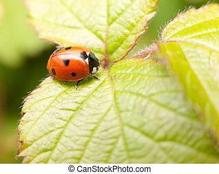 a red and black ladybird resting upon a leaf inside its shell waiting cute